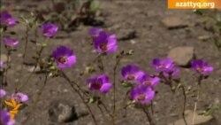В Чили расцвела безводная пустыня Атакама