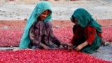 AFGHANISTAN -- Afghan children's sort pomegranate seeds for export in Kandahar, November 26, 2020