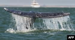 Экологи уверены, что Япония в коммерческих целях ведет промысел многих видов китов, например, горбачей