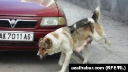 Turkmenistan. Pregnant dog in Ashgabat