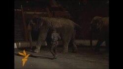 Elefantët që i shpëtoi vodka siberiane