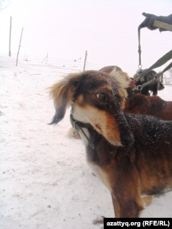 Собаки породы тазы, живущие у Талгата Ермагамбетова. Актюбинская область, 22 декабря 2013 года.