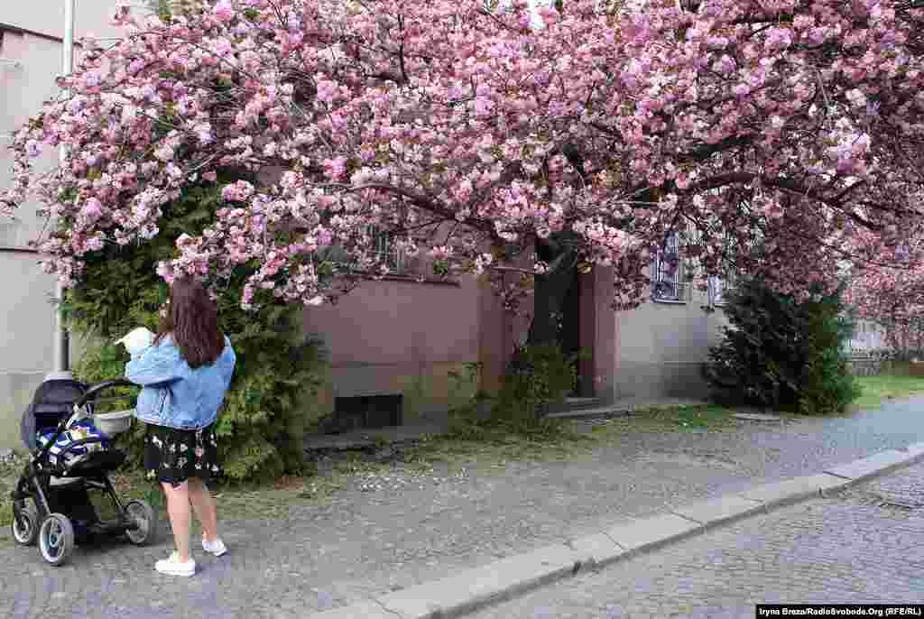 В Ужгороді росте близько 10 тисяч сакур, враховуючи деревця, які саджають жителі міста біля будинків. Біологи зафіксували шість різних видів, які квітнуть у різний час