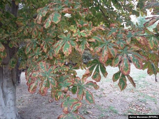 Высохшие листья каштанов в Армянске