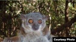 """Новые виды мадагаскарских лемуров продолжают описывать до сих пор. Вид - Lepilemur randrianasoli – был впервые описан в феврале 2006 года, <a href= """"http://www.biomedcentral.com/1471-2148/6/17"""" target=_blank>сообщает Biomedcentral.</a>"""
