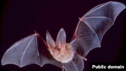Летучая мышь может стать прототипом беспилотных аппаратов, способных двигаться в сложных условиях городской застройки.