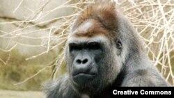 Gorila - ilustracija