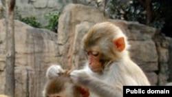 Макака резус (<i>Macaca mulatta</i>). Удалось клонировать этот вид обезьян