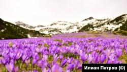 Поляната, отрупана с минзухари се намира в долината на река Бъндерица, в подножието на най-високия връх в Пирин – вр. Вихрен