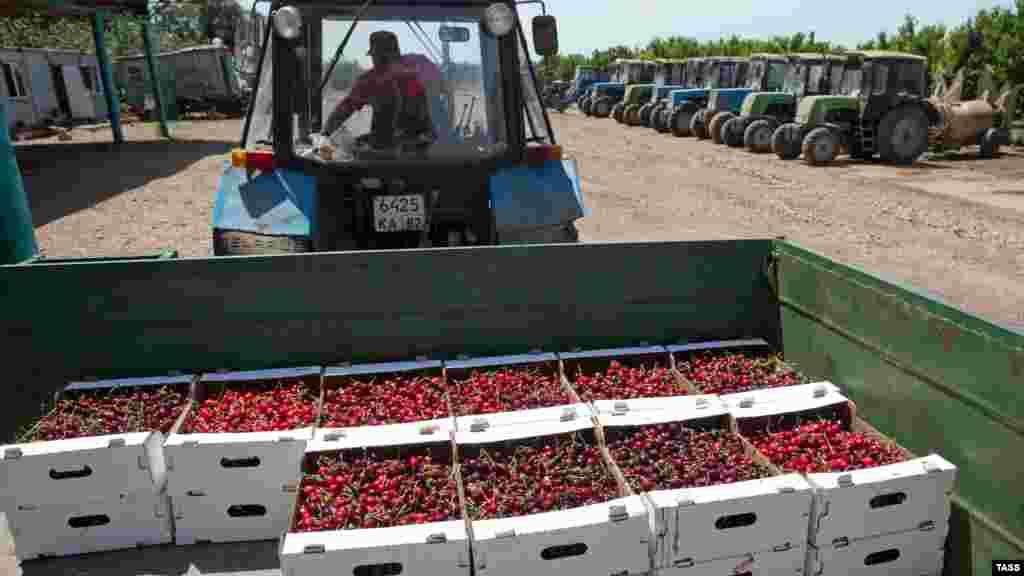 Зібрані й розфасовані по шухлядах ягоди вантажать у причіп трактора. Потім черешню відправлять на підприємство, звідки продадуть оптом чи вроздріб