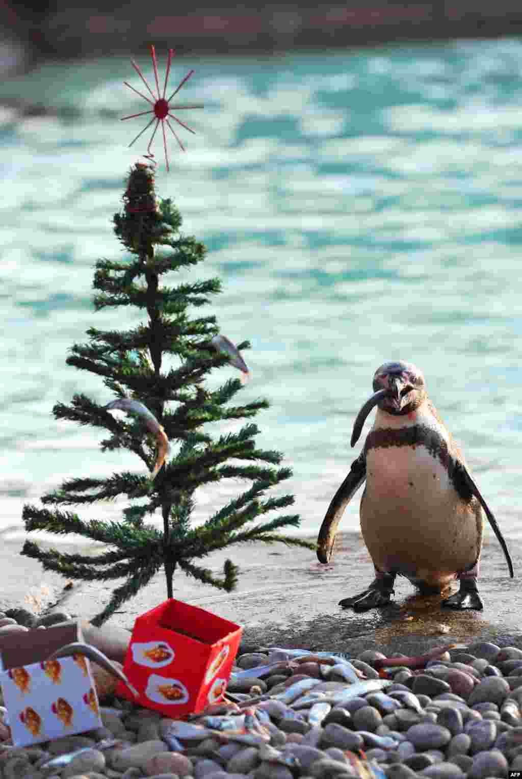 Acest pinguin de la Zoo din Londra a găsit sub brad, cum era de așteptat, niște pește.