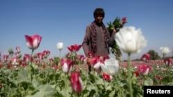 Афганец на маковом поле, провинция Джелалабад