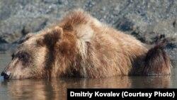 Медведям на Сахалине трудно найти рыбу в реках