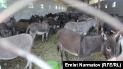Ослы на ферме в Ошской области на юге Кыргызстана.