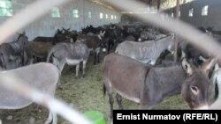 Оштағы есек фермасы. Қырғызстан. 22 қыркүйек 2015 жыл.