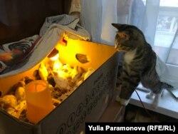 Цыплячья ферма в квартире Гордюковых