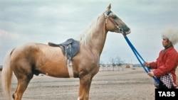 Turkmenistan -- The ancient Akhal Teke breed horse, undated