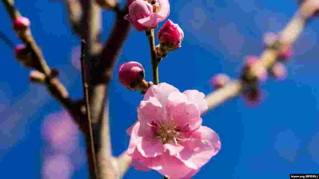Персик: от фазы розового бутона до появления цветка. Внезапное понижение температур до -2°C и ниже в эту пору для него убийственно