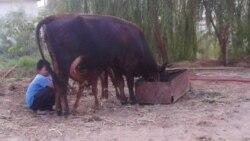 Türkmenistanda hojalyk mallary gyrylýar