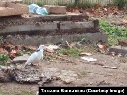 Голубь рядом с разрушенной голубятней