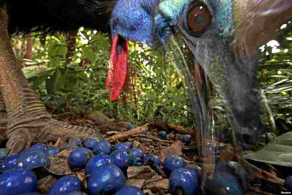 Christian Ziegler of Germany won first prize in the Nature Single category with this picture of an endangered southern cassowary feeding on the fruit of a blue quandang tree in Black Mountain Road, Australia.