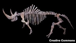 A skeleton of a woolly rhinoceros (Coelodonta antiquitatis) found in the Yamalo-Nenetsky region of Siberia
