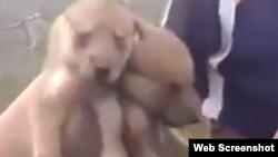 Скриншот видео о жестоком убийстве волчат.