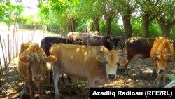 İmişli rayonu, Muradxanlı kəndi, 2019