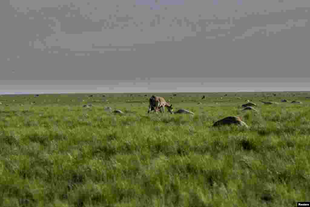 A saiga mother and her calf graze next to the carcasses of hundreds of dead antelopes in the northern Qostanai region of Kazazkhstan on May 20, 2015.