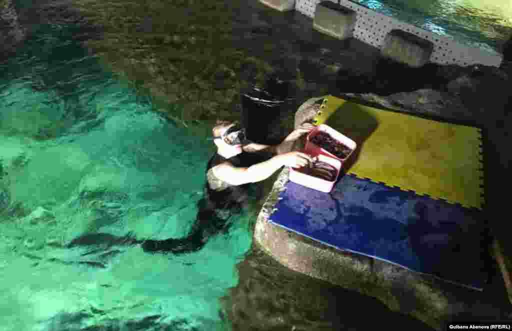 Для долгого нахождения под водой необходима хорошая физическая подготовка. Иван Власкин – спортсмен, он долгое время занимался греблей. Отдохнув положенное время, Иван снова погружается под воду, на этот раз он будет кормить мелкой рыбой больших 120-килограммовых суповых черепах. Астана, июнь 2018 года.