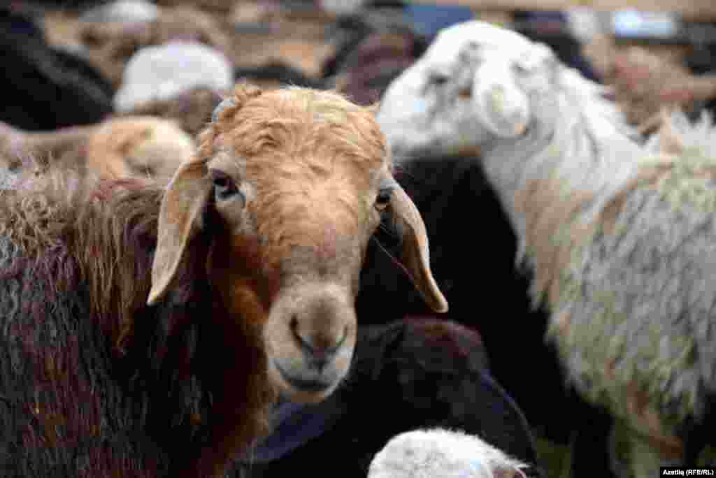 Sheep at a market in Kazan, the capital of the Russian republic of Tatarstan.