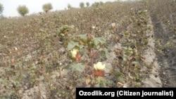 Поле со памук во Узбекистан