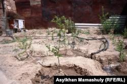 Төретам тұрғыны Нартай Жүнісовтің бақшасындағы өсімдіктер. Қызылорда облысы, 14 шілде 2013 жыл.