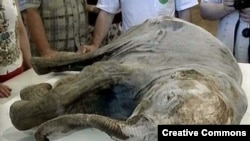 Woolly Mammoth to Be Cloned Discovery