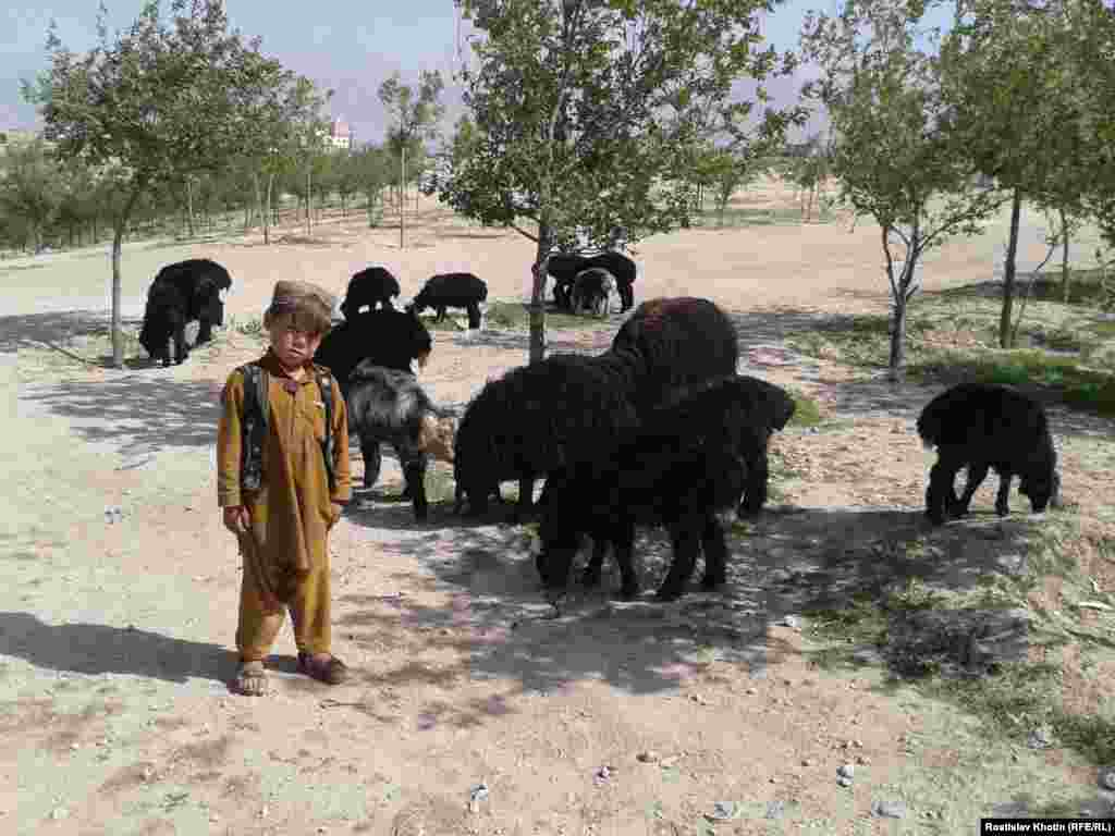 An Afghan boy herding a flock of sheep.