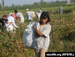 Өзбекстандық мектеп оқушылары мақта теріп жүр. 24 қыркүйек 2011 ж.