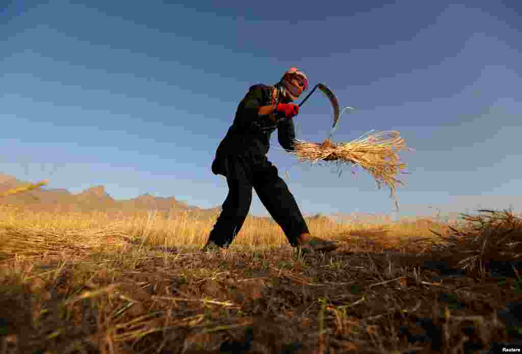 An Afghan man harvests wheat on the outskirts of Kabul. (Reuters/Mohammad Ismail)