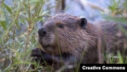 "Бобр. <a href = ""http://en.wikipedia.org/wiki/Image:Beaver-Szmurlo.jpg"" target=_blank>Wikipedia. Photo by Chuck Szmurlo</a>"