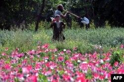 Опиумные посевы в провинции Кандагар. Май 2014 года