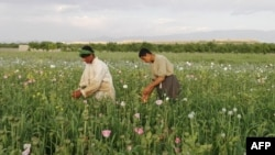 In this photograph taken on April 27, 2016, Afghan farmers harvest opium sap from a poppy field in Sarmurghab village in the Tarinkot district of southern Uruzgan province.