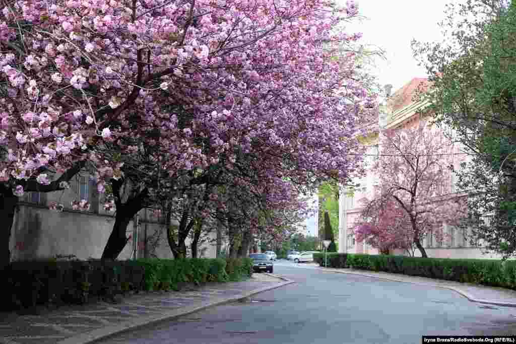Сакури на Закарпатті ростуть у всіх районних центрах. Найдовша алея цих дерев – в Ужгороді, найшвидше, часто ще у лютому, зацвітає відома «шалена» сакура у центрі Мукачева