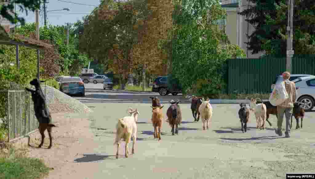 По улице Стадионной прогуливаются козы