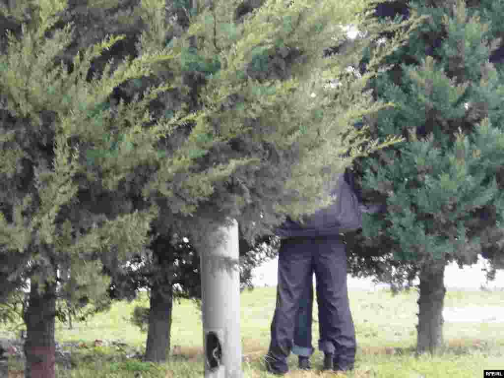 Küknar ağacları təkcə bəzədilmək üçün deyil