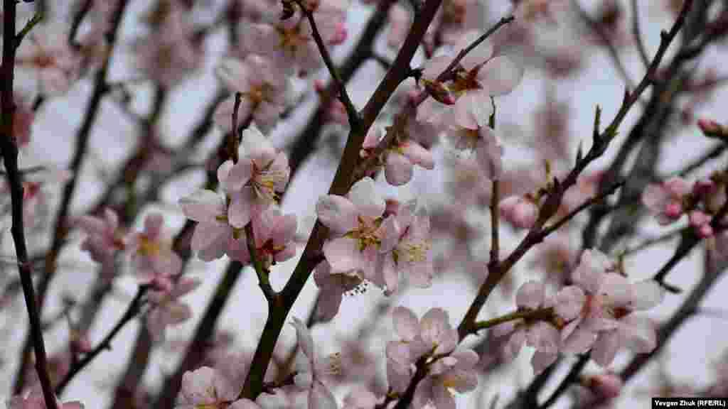 У цветков миндаля характерные розоватые лепестки и ярко-желтые тычинки