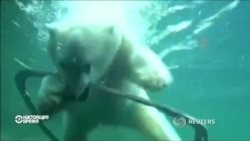 Белый медвежонок Нора привыкает к новому дому в Орегоне