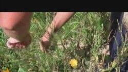 Rudo - uzgajanje ljekovitog bilja