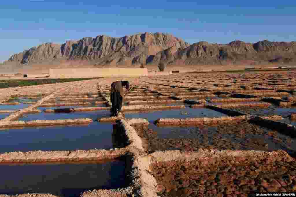 Афганский фермер выращивает свой мак в Гильменде. После падения режима талибов в 2001 году афганское правительство и международное сообщество безуспешно потратили более 9 миллиардов долларов на прекращение выращивания опиума. Афганистан остается производителем большей части героина в мире и стал крупным мировым производителем метамфетамина