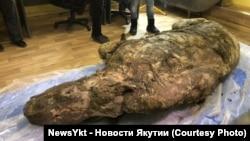 Шерстистый носорог из Якутии