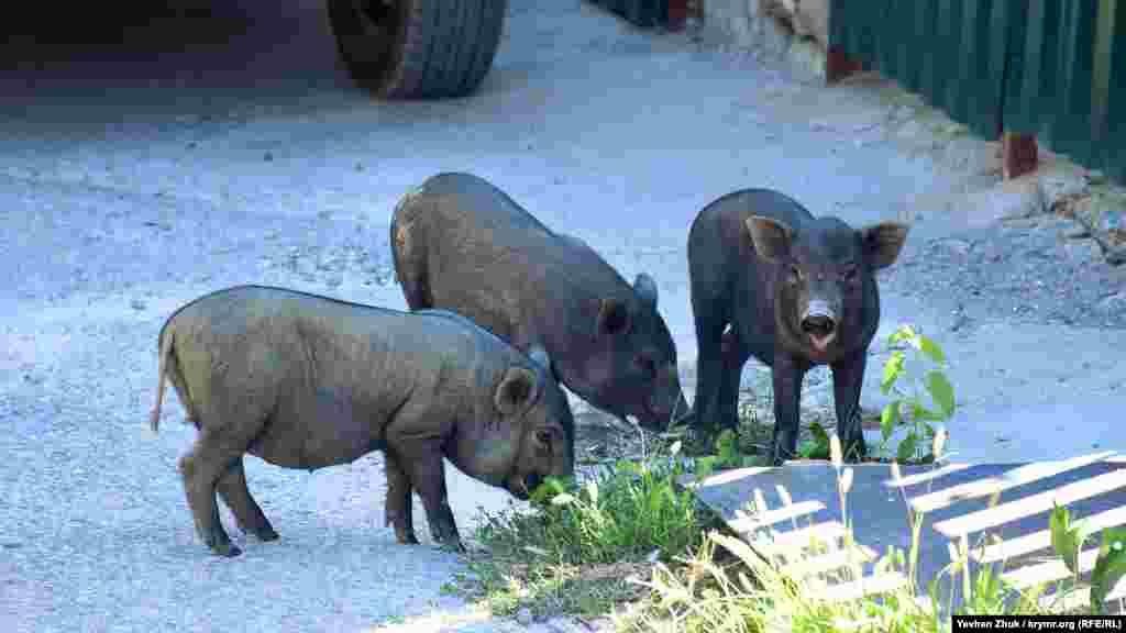 В'єтнамські свинки пасуться прямо на вулиці