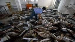Китайские рыбаки отрезают плавники у убитых акул
